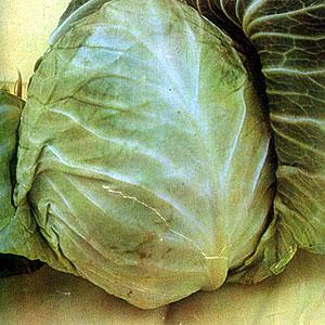 http://www.filipinoherbshealingwonders.filipinovegetarianrecipe.com/herbs_pics/cabbage.jpg