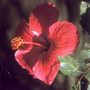 Gumamela Flowers as Alternative Perfume