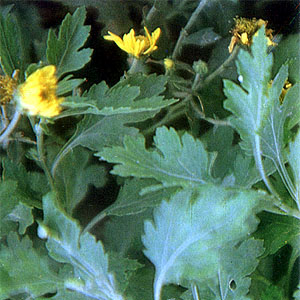 Mansanilya Scientific Name Chrysanthemum Indicum L