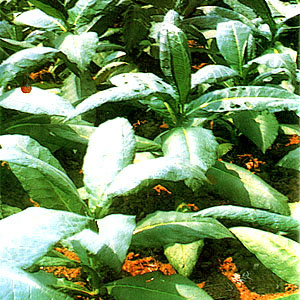 Tabako (Tobacco) – Scientific name: Nicotiana tabacum L  | Healing